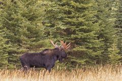 Bull Moose in the Fall Rut. A bull shiras moose in the fall rut in Wyoming Royalty Free Stock Photography