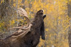 Bull  Shiras Moose in Rut. A bull  shiras moose in the fall rut in Wyoming Royalty Free Stock Image