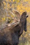 Bull Shiras Moose Rutting. A bull  shiras moose in the fall rut in Wyoming Stock Image