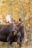 Bull Shiras Moose Royalty Free Stock Photography