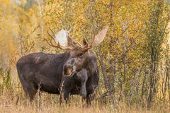 Bull Shiras Moose in Fall Royalty Free Stock Photos