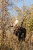 Bull Shiras Moose in Fall in Wyoming stock image