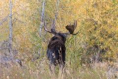 Bull Shiras Moose Looking Away Stock Photos