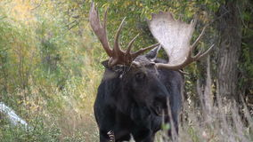 Bull Shiras Moose Portrait in Fall stock footage