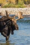Bull Shiras Moose in River Stock Photography