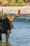 Bull Shiras Moose in River Royalty Free Stock Photos