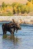 Bull Shiras Moose in River Royalty Free Stock Image