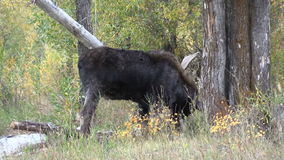 Bull Shiras Moose. A bull shiras moose rubbing his antlers on a tree in the fall rut stock footage
