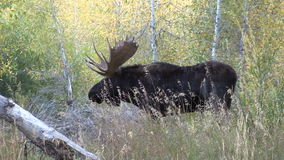 Bull Shiras Moose in the Rut stock video footage