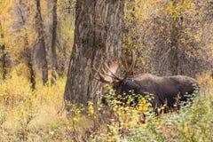 Bull Shiras Moose in Rut Royalty Free Stock Photography