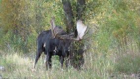 Bull Shiras Moose in Rut. A bull shiras moose in the fall rut stock footage