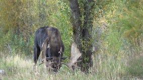Bull Shiras Moose Rutting in Fall stock footage