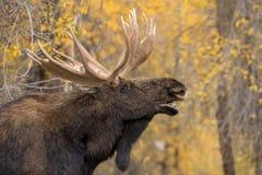 Bull Shiras Moose Rutting in Fall. A bull  shiras moose in the fall rut in Wyoming Stock Image