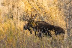Shiras Moose Bull in Fall Stock Image