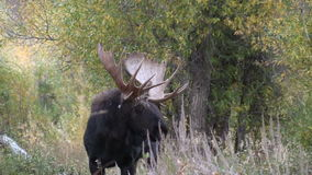 Bull Shiras Moose Zoom Out stock video