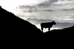 A bull silhouette Stock Images
