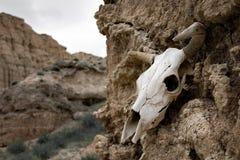 Bull skull Royalty Free Stock Image