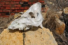 Bull skull close up laying on Crimean coquina rock blocks and red bricks wall of ruined farm background. With dry grass growing on it royalty free stock photo