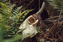 Bull skull in forest Royalty Free Stock Photo