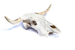 Bull skull. On a white background- isolated Stock Photo