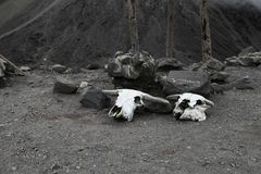 Bull skulls with horns near the top of the Merapi volcano. Jawa, Indonesia Stock Images