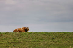 Bull sleeping on a grassy bank. Royalty Free Stock Images