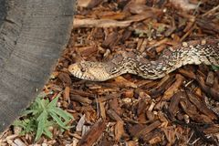 Bull snake Stock Images