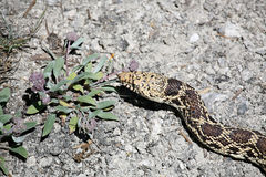 Bull snake. In natural environment. mammoth hot springs, yellowstone national park. reptile also referred to as a gopher snake or pine snake Royalty Free Stock Photo