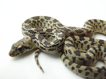 Bull Snake also called Gopher  Royalty Free Stock Image