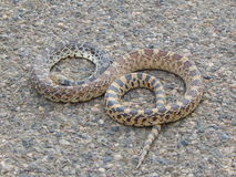 Bull Snake - Gopher Snake. Letter S  Royalty Free Stock Photo