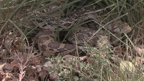 Bull Snake in Grass stock footage