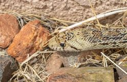 Bull Snake on the Hunt. A bull snake slithering through the grass Royalty Free Stock Photo