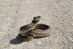 Free Bull Snake On Coiled Dirt Road Royalty Free Stock Images - 150616659