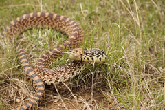 A bull snake takes on a defensive position . Royalty Free Stock Images