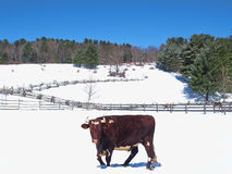 Bull in snow Royalty Free Stock Photos