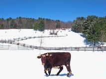 Bull in snow Royalty Free Stock Photos