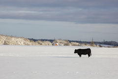 Bull on snow field Royalty Free Stock Images