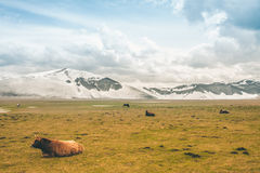 A bull and snowy mountains. A bull with snowy mountains Stock Photography