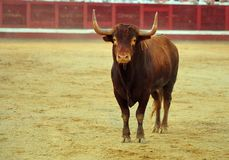 Bull in Spagna Fotografie Stock Libere da Diritti