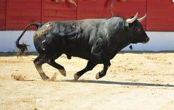 Bull in Spagna Fotografie Stock