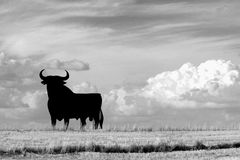 Bull of Spain. A bull in the field Stock Photos