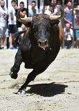 Spanish bull. Bull in spain with big antlers Stock Images