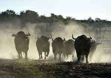 Bull. In spain with big horns and angry stock image