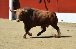 Bull. In spain with big horns in ring Royalty Free Stock Photography