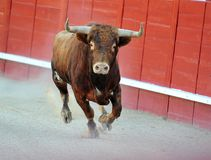 Bull. In spain with big horns in ring Stock Photography