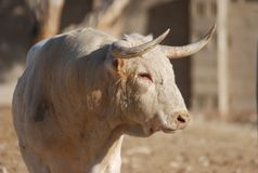 Bull. In spain with big horns in ring stock image