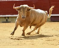 Bull in spain with big horns Stock Photos
