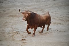 Bull in spanish bullring with big horns stock images