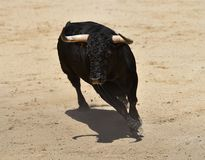 Angry black bull. Bull in spain running in spanish bullring with big horns Stock Photography