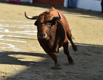 Angry black bull. Bull in spain running in spanish bullring with big horns royalty free stock photography